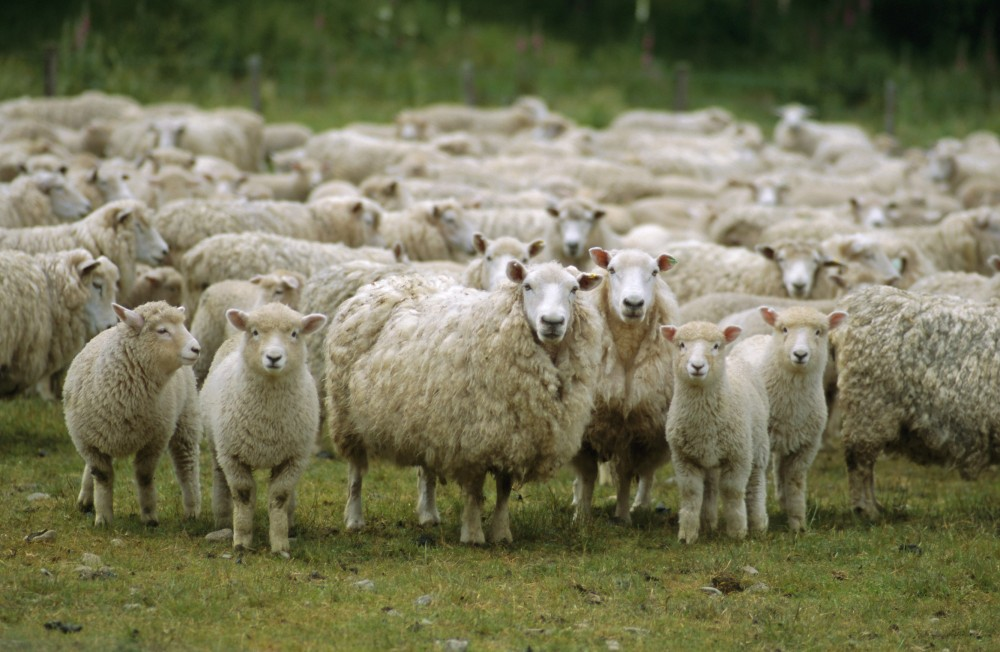 вівці
