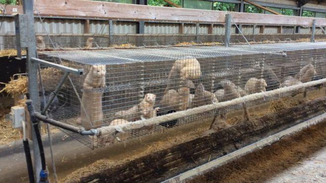 Бродівська районна рада проголосувала за заборону хутряних ферм